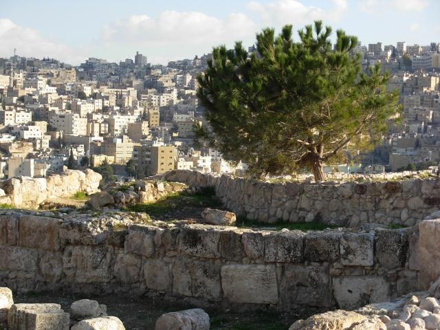 Кедр на фоне развалин и города Амман