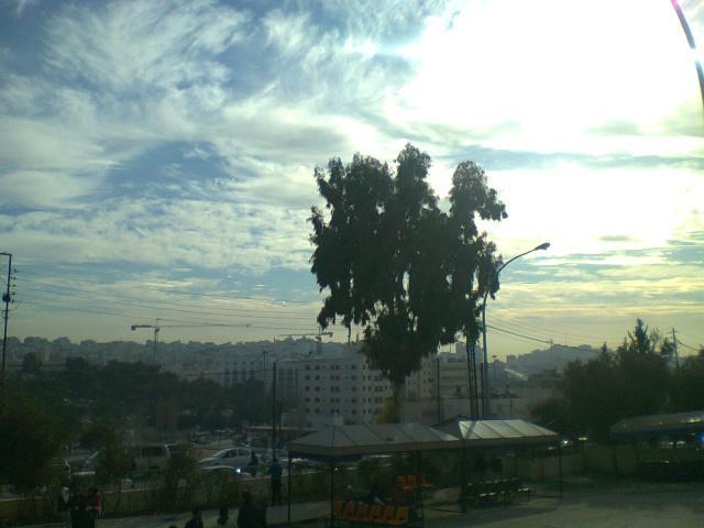 Дерево эвкалипт в Аммане