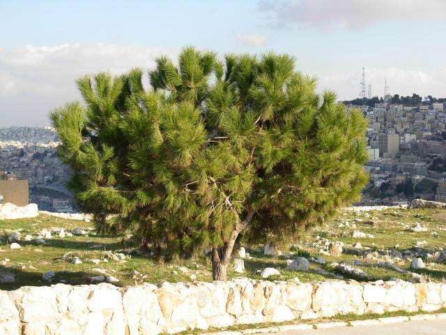 Кедр в Иордании